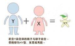 香港验血查男女怎么从血液中辨别出胎儿性别?